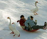A pack of geese left a pond to randomly wander back and forth honking at sledders at Sugarhouse Park on a sunny but chilly Sunday afternoon.  The Salt Lake City area is in the midst of a cold spell that has not let the recent snow and ice melt.   photo by Danny Chan La/The Salt Lake Tribune 1-14-2007